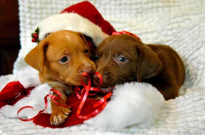 foto de cachorritos navideños