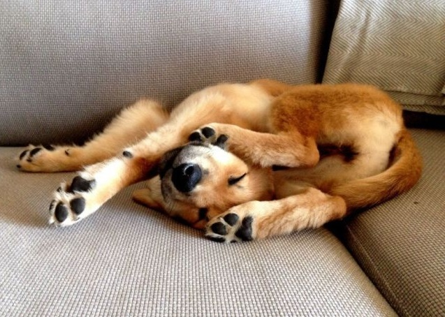 perro durmiendo torcido