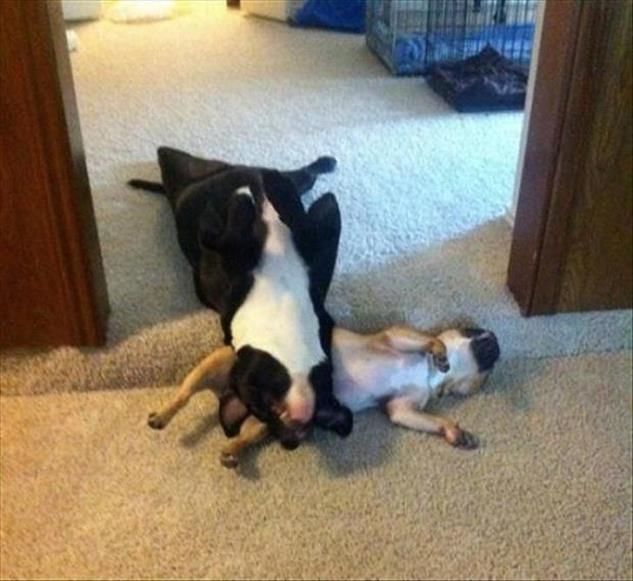 perros durmiendo en posturas divertidas