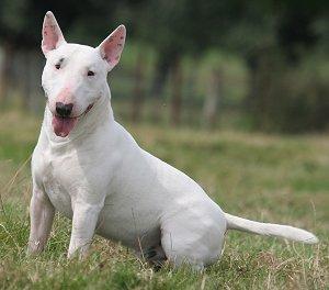 Bull terrier ingles blanco