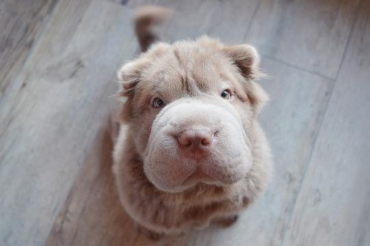Cachorrito Shar pei precioso