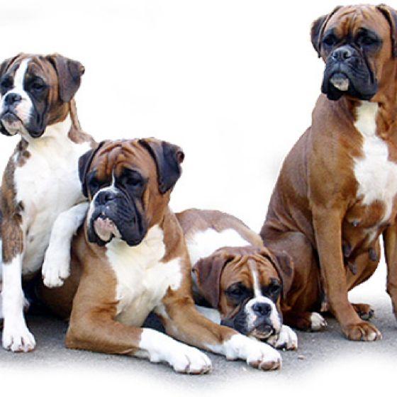 Familias de perros