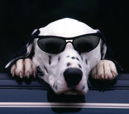 Foto de dalmata con gafas oscuras