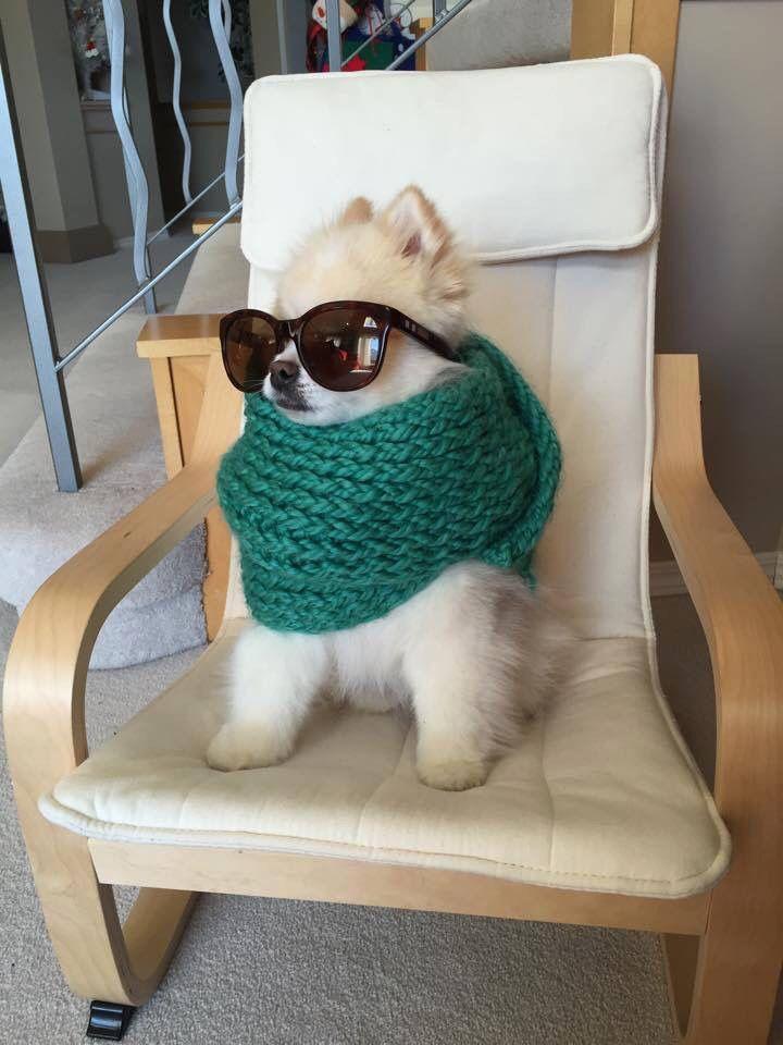Foto de perrito sofisticado usando gafas de sol