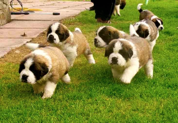 Fotos bonitas de cachorros San Bernardo