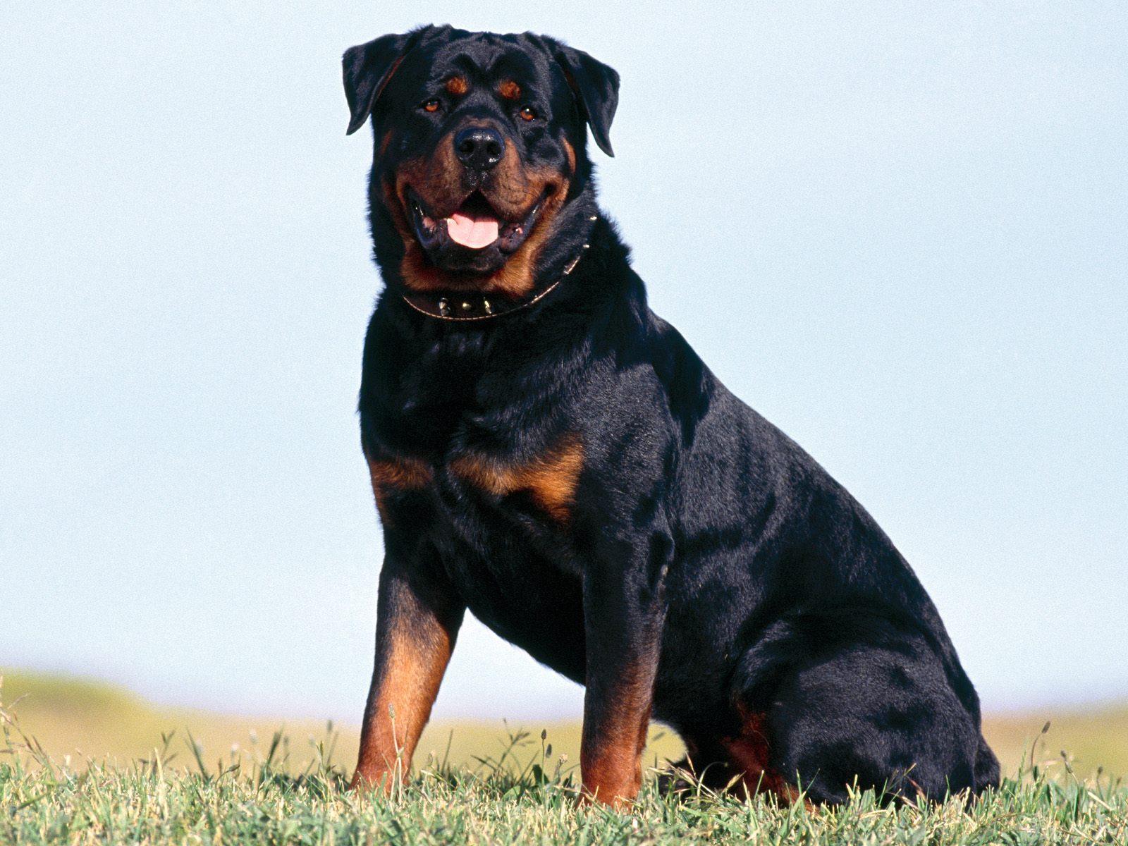 Fotos de Rottweiler para usar como fondo de pantalla
