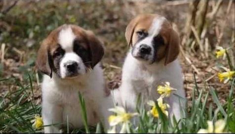 Fotos de cachorros san bernardo