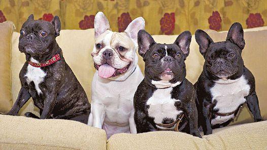 Fotos de perros bulldog frances