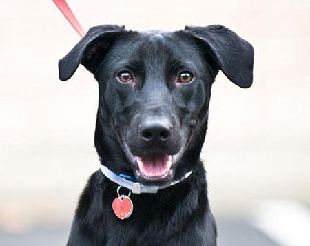 Fotos de perros negros grandes