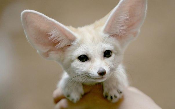 Fotos de perros pequeños con orejas grandes