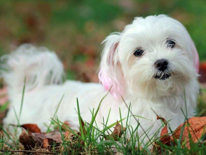 Fotos de un perro maltes