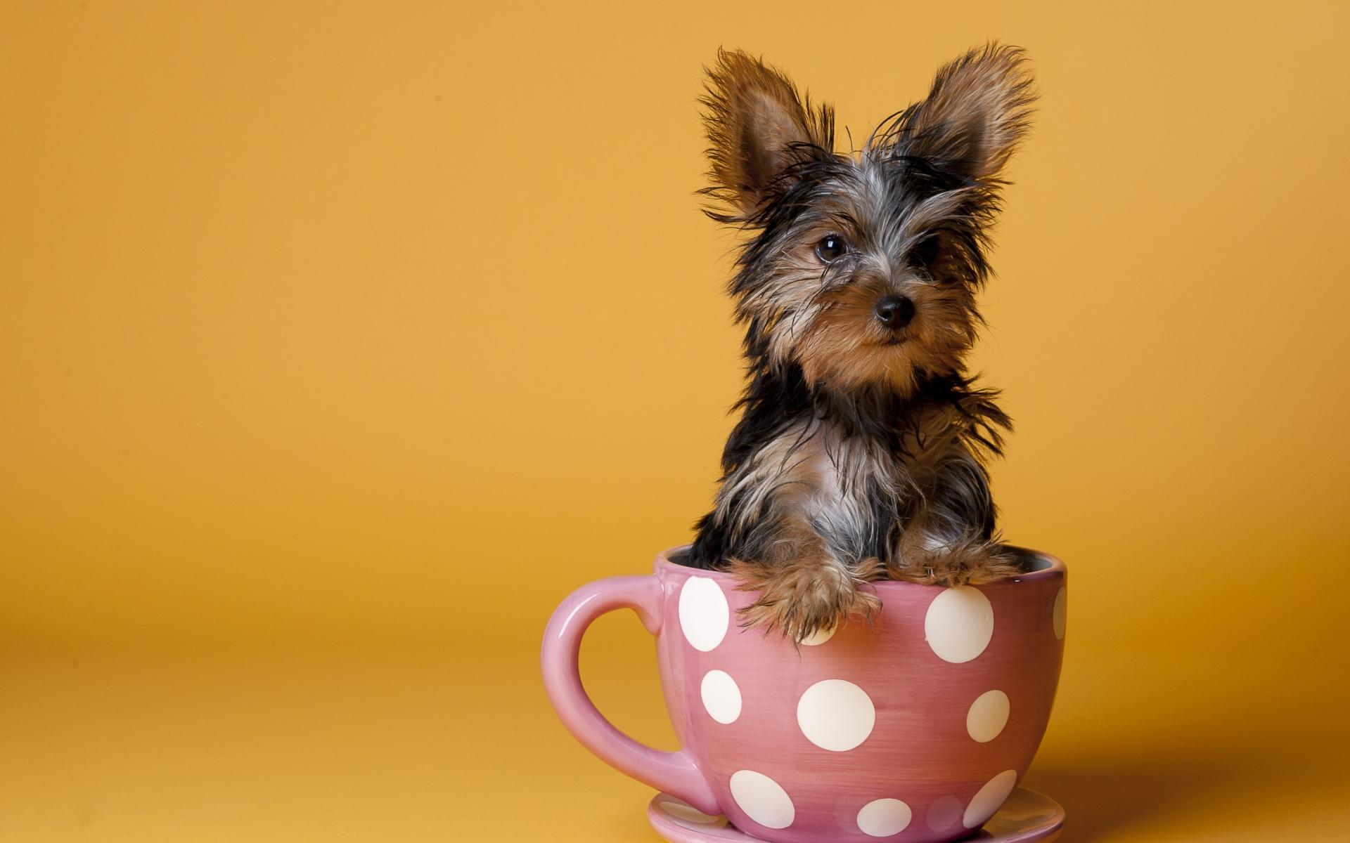 Fotos para fondo de pantalla de un yorkshire terrier