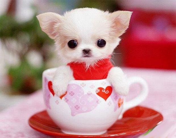 Hermosa imagen de perrito miniatura