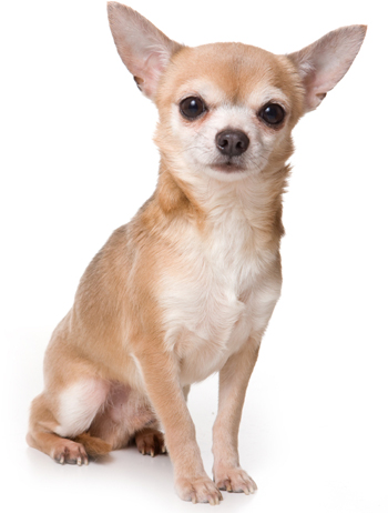 Imagen de lindo perro chihuahua
