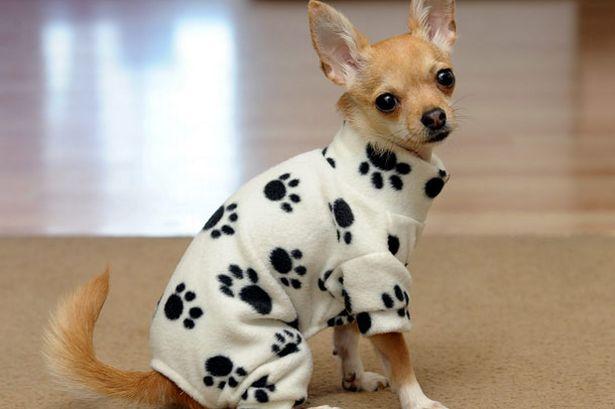 Imagen de perro chihuahueño con ropa