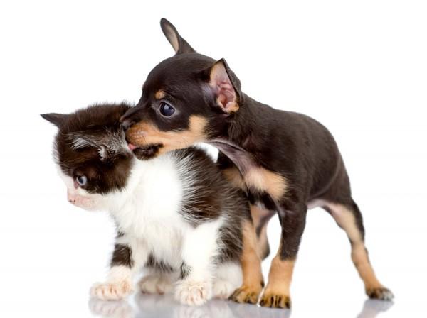 Imagen de un chihuahua y un gato