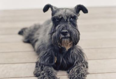 Imagen de un perro negro de raza schnauzer miniatura