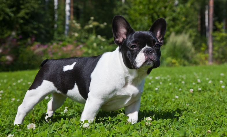 Imagenes De La Raza De Perros Bulldog Frances