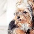 Imagenes De Un Yorkshire Terrier Para Usar Como Fondo De Pantalla