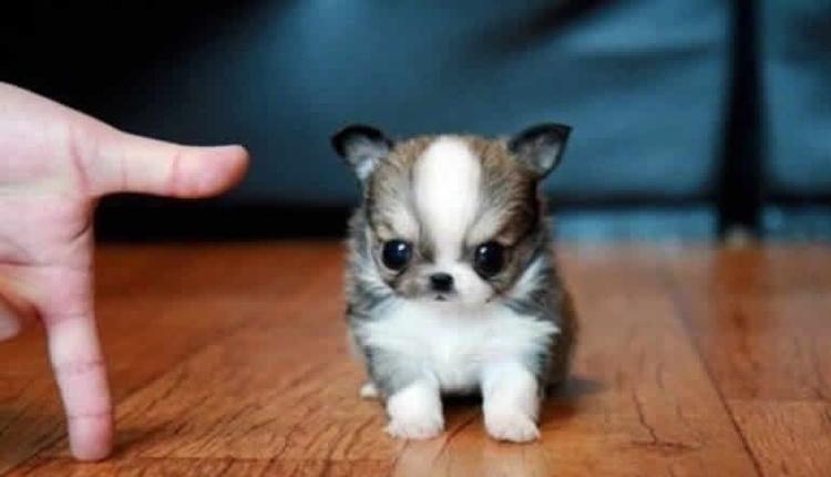 Imagenes De perritos miniatura