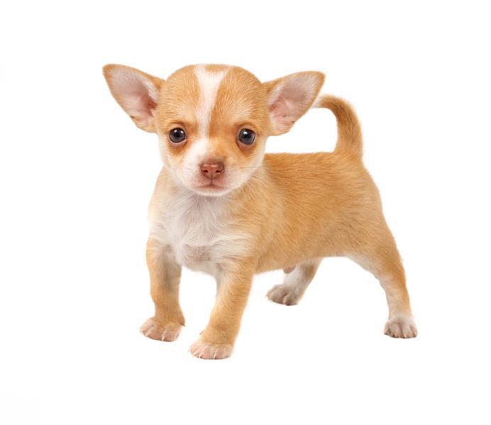 Imagenes de perros chihuahueños cachorros