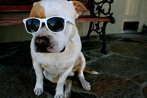 Imagenes de perros con gafas oscuras