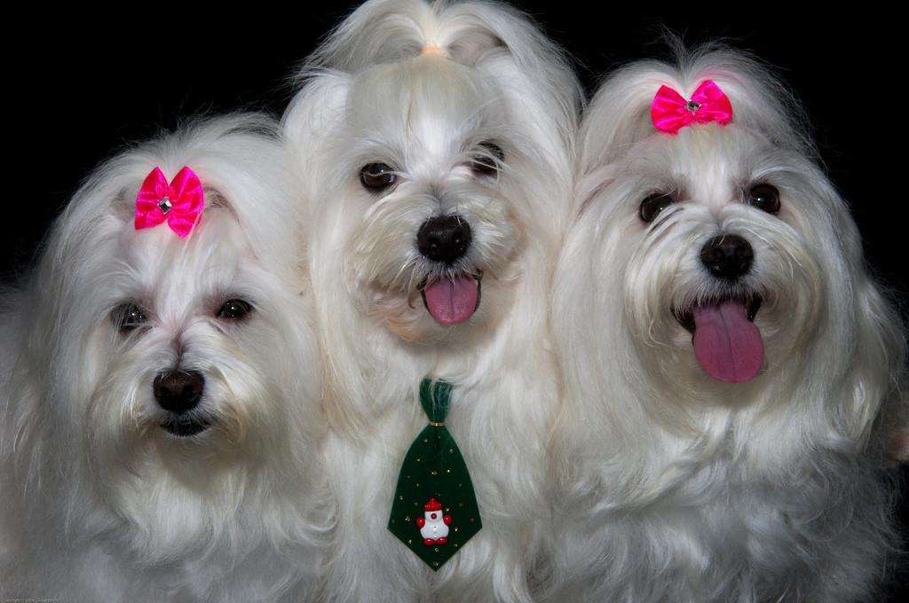 Imagenes de perros maltes