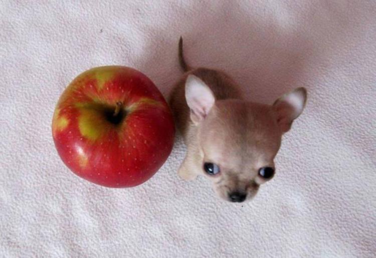 Imagenes de perros mas pequeños del mundo