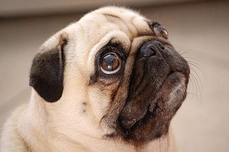 imagenes de perros Pug