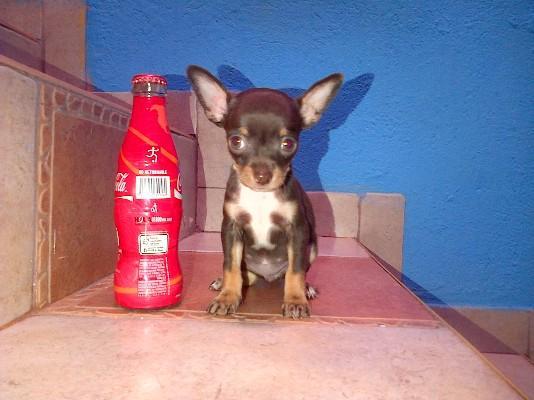 La raza de perros mas pequeña del mundo el chihuahua