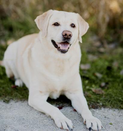 Labrador Retriever Razas De Perros más populares en América