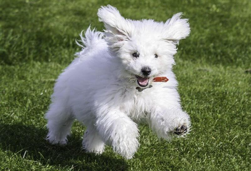Lindo perro maltes corriendo