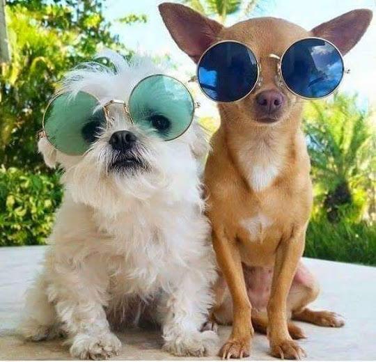Perritos a la moda con sus gafas redondas de sol