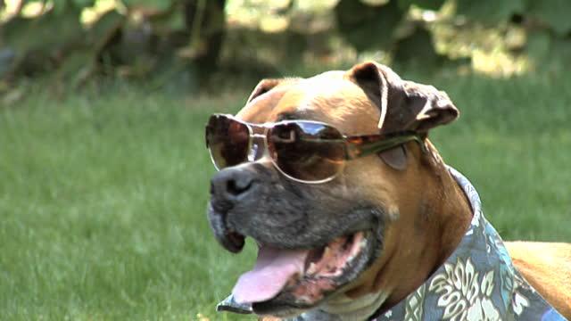 Perro boxer con gafas de sol