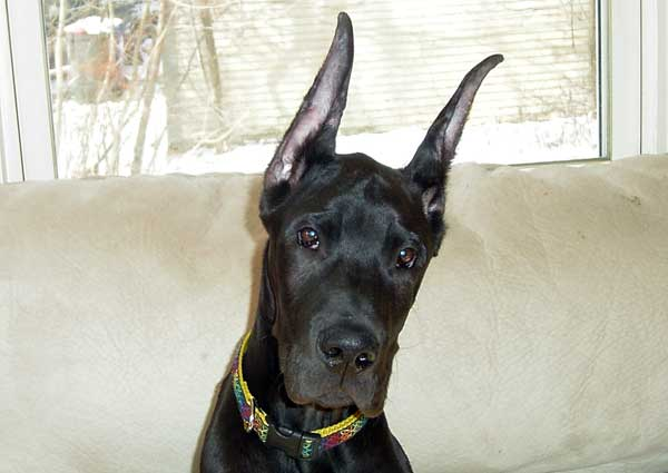 Perro negro de orejas grandes
