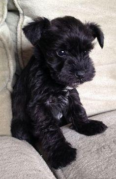 Perro schnauzer miniatura negro