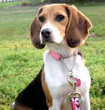 Perros de raza Beagle