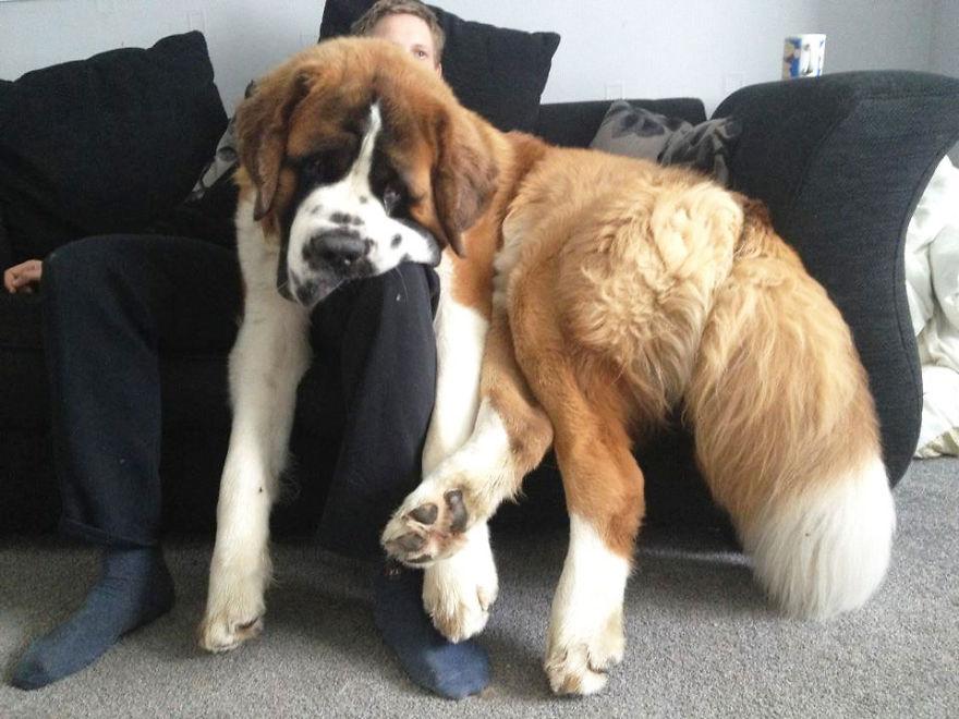 Perros enormes y consentidos