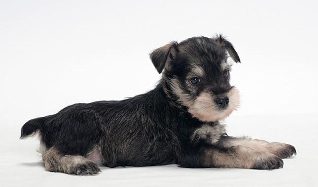 Preciosa imagenes de un perros de raza miniatura el schnauzer