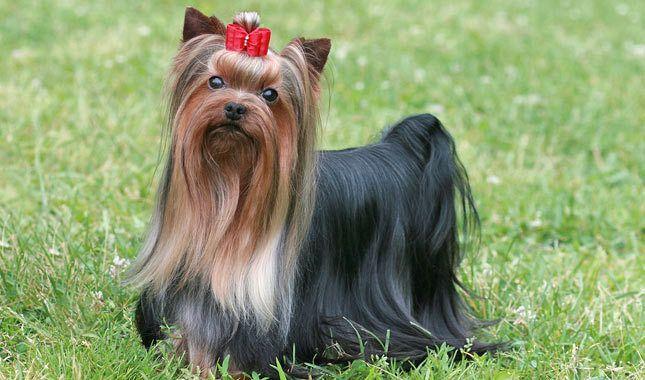 Raza de perro mas pequeña Yorkie
