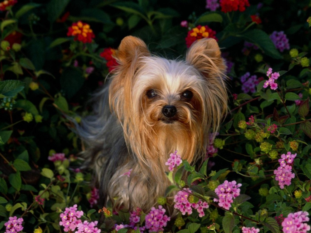 Yorkshire Terrier en medio de flores