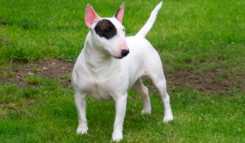 fotos bull terrier ingles de color blanco