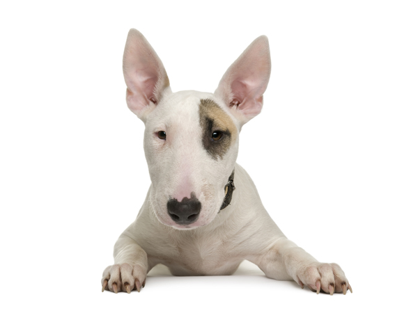 imagenes de perros bull terrier ingles