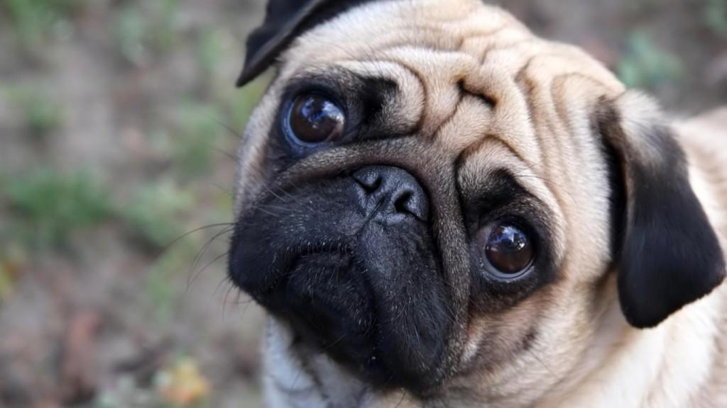 imagenes para wallpaper perros pug