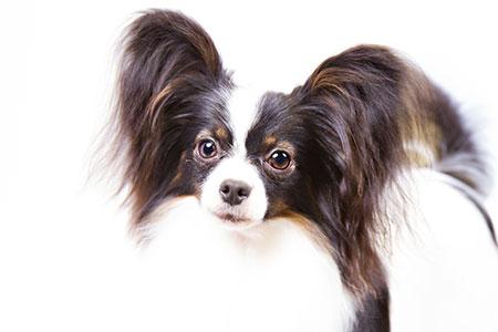 lindo perrito de grandes orejas