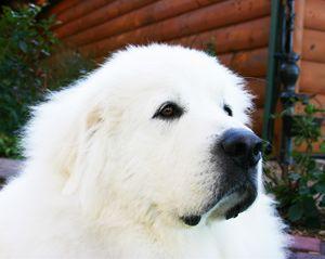 perros blanco