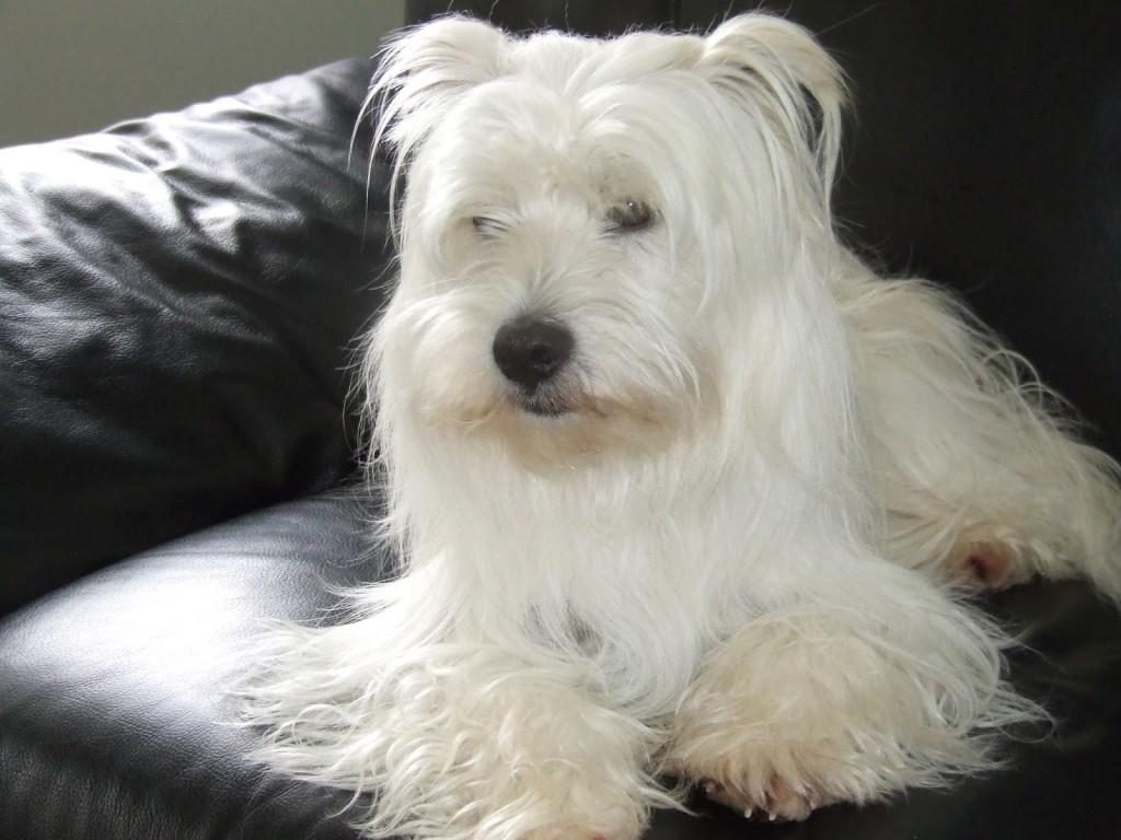 perros de raza bichon maltes