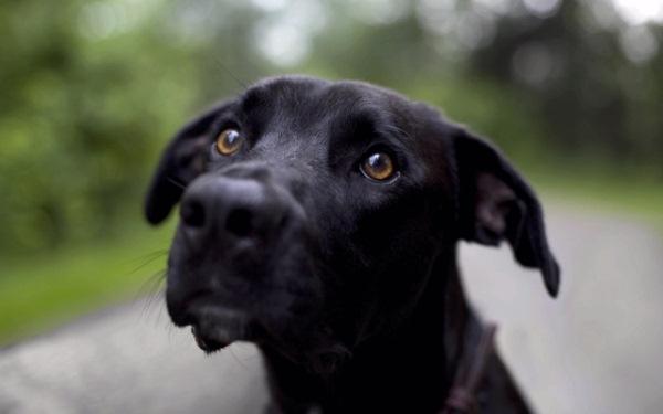 perros negros y grandes