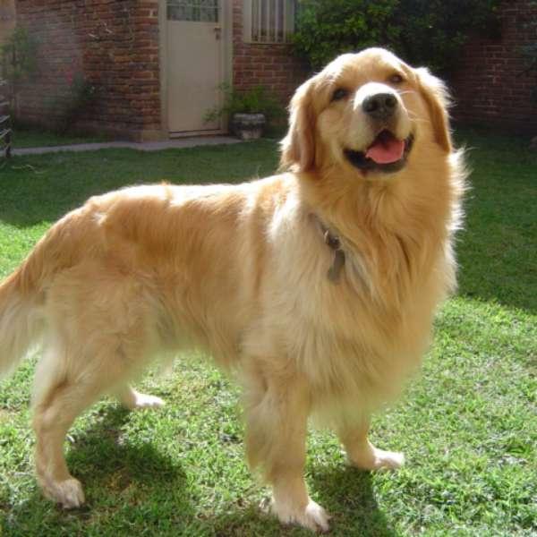 raza de perros golden retriever