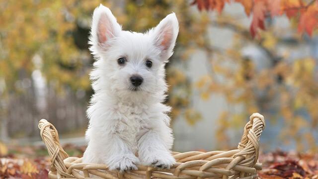 Bonita imagen para fondo de un perro westie